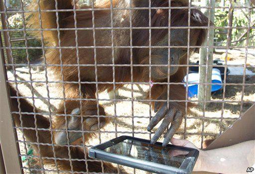 iPad bagi Orangutan untuk mengusir rasa bosan